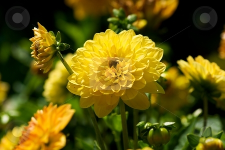 Shining Dahlia stock photo, Close-up of a yellow-orange blooming Dahlia. by Charles Jetzer