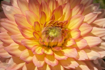 Gallery Pablo Burst stock photo, Extreme Close-up of a Gallery Pablo Dahlia bloom. by Charles Jetzer