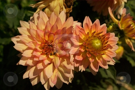 Gallery Leonardo stock photo, Close-up of peach Gallery Leonardo Dahlia blooms. by Charles Jetzer