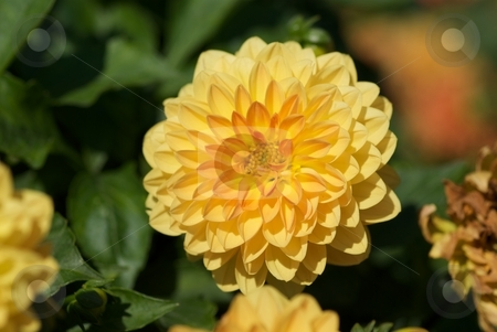 Pastel Dahlia stock photo, Closeup of a faded yellow-orange Dahlia. by Charles Jetzer