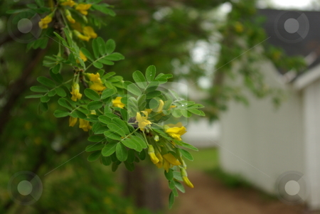 Spring Flowering Bush stock photo, Tender yellow flowers provide a focal point on a bush branch in spring. by Dennis Thomsen
