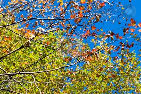 Golden Blue stock photo, Gold leaves on a very blue sky. by Charles Jetzer