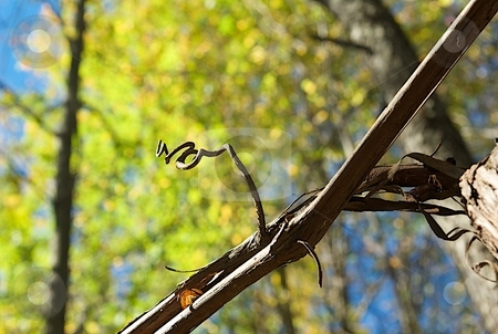 Autumn Curly Q stock photo, The curly arm of a vine on autumn foliage. by Charles Jetzer