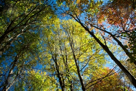 Autumn Foliage from Below stock photo, Looking up at autumn foliage and blue sky. by Charles Jetzer