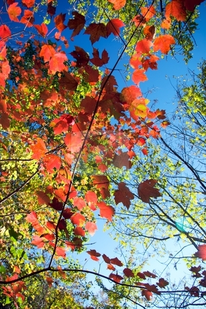 Autumn Contrast stock photo, High contrast blue sky and red maple leaves with other changing leaves mixed in. by Charles Jetzer