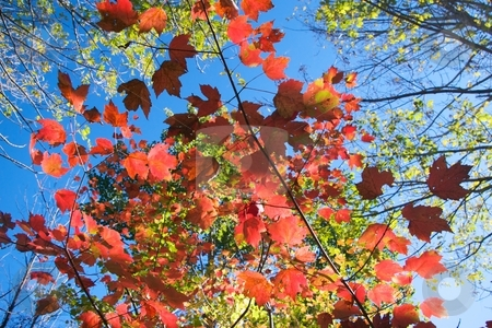 Autumn Glow stock photo, Glowing maple leaves in autumn with other changing leaves and sky above. by Charles Jetzer