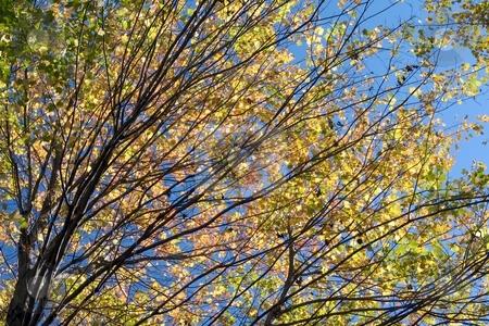 Autumn Streaks stock photo, Autumn foliage and blue sky. by Charles Jetzer