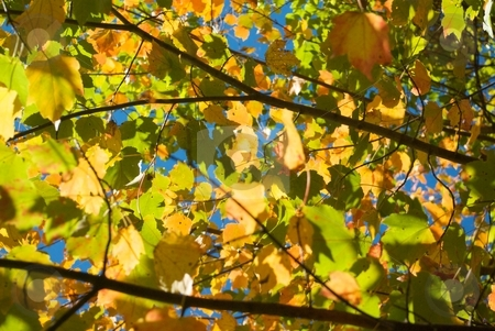 Gold & Green stock photo, Autumn leaves in the early stages of changing color. by Charles Jetzer