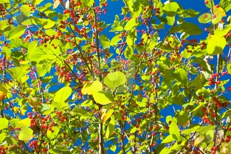 Lime Foliage Berries stock photo, Autumn lime green foliage and red berries with some blue sky peaking through. by Charles Jetzer