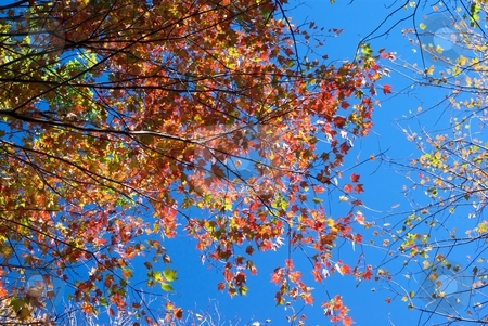 Autumn Color and Sky stock photo, Autumn leaves on a blue sky. by Charles Jetzer