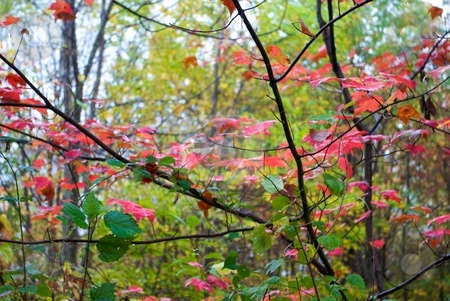Red Maple Autumn Foliage stock photo, Red Maple foliage in autumn. by Charles Jetzer