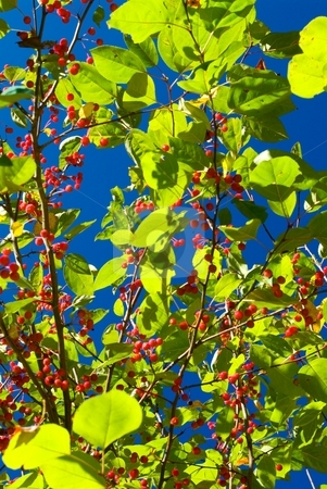 Lime Foliage Berries and Sky stock photo, Autumn lime green foliage, red berries and blue sky. by Charles Jetzer
