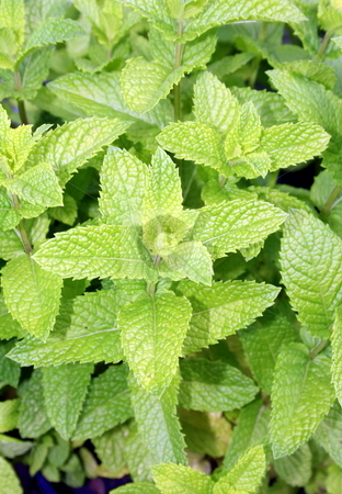 Fresh Spearmint stock photo, Fresh spearmint by Tom and Beth Pulsipher