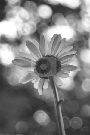 Absract daisy in black and white stock photo, Abstrct daisy in black and white, shot from behind by Tim Markley