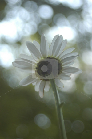 Up view of a daisy stock photo, Abstrct daisy with light seen close up and shot from behind by Tim Markley
