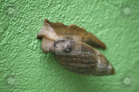 Arborel Snail stock photo, Arboreal snail from Costa Rica on a green wall. by Scott Griessel