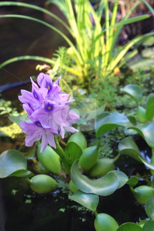 Water Hyacinth Blooming stock photo, Water Hyacinth in full bloom in a small pond with other water plants. by Lynn Bendickson