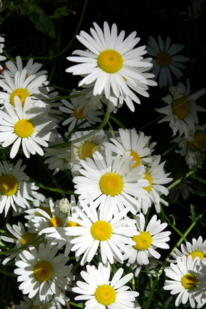 Wild Mountain Daisies stock photo, Wild mountain daisies growing in a sunny area in the forest. by Lynn Bendickson