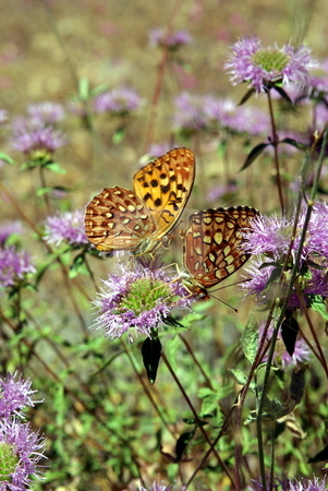 Two Butterflies On A Wildflower stock photo, Two orange and yellow butterflies together on a mountain wildflower. by Lynn Bendickson