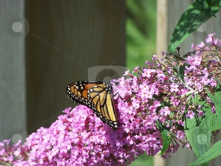 Butterfly On Pink Flower stock photo, Monarch butterfly in blooming garden by CHERYL LAFOND