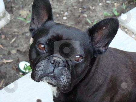 French Bulldog stock photo, French bulldog puppy portrait by CHERYL LAFOND