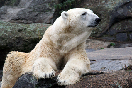 Beautiful Polar Bear stock photo, Beautiful Polar Bear sat on rock. by Martin Crowdy