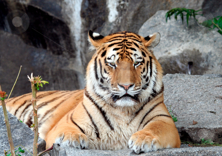 Beautiful Tiger portrait stock photo, Beautiful Tiger portrait looking in portrait. by Martin Crowdy