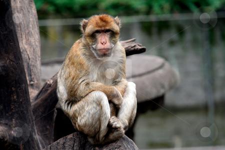 Monkey sat in tree stock photo, Portrait of a monkey sat in a tree. by Martin Crowdy