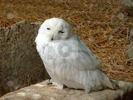 Portrait of white snowy owl stock photo, Portrait of white snowy owl on nest. by Martin Crowdy