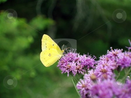 Butterfly collecting nectar  stock photo, Pretty butterfly collecting nectar from a purple thistle plant by Michelle Bergkamp