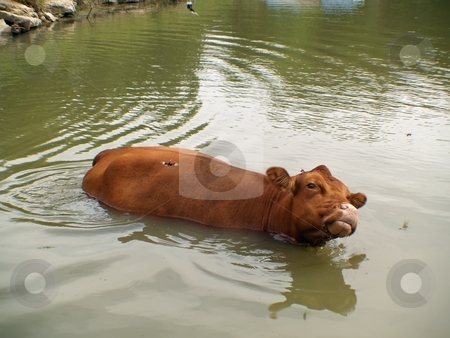 Cow cooling it'self off stock photo, Cow cooling herself off in a pond getting relief from the heat and insects by Michelle Bergkamp
