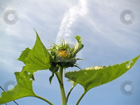 Looking up view of a closed sunflower stock photo, Looking up angle of a sunflower still in a closed up position by Michelle Bergkamp