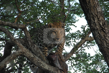 Leopard in tree stock photo, Leopard lying in a tree with a dead carcass by Johnny Griffin