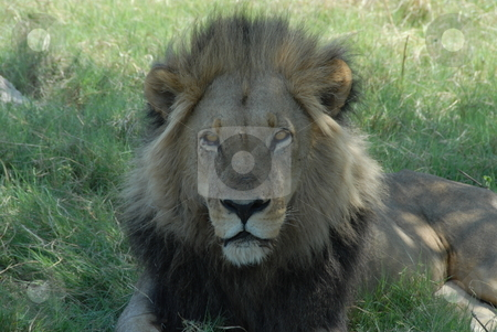 Lion stock photo, The lion (Panthera leo) is a member of the family Felidae and one of four big cats in the genus Panthera. by Johnny Griffin