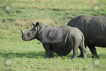 Rhino stock photo, Rhinoceros, often colloquially abbreviated rhino, is the common name used to group five extant species of odd-toed ungulates in the family Rhinocerotidae. by Johnny Griffin
