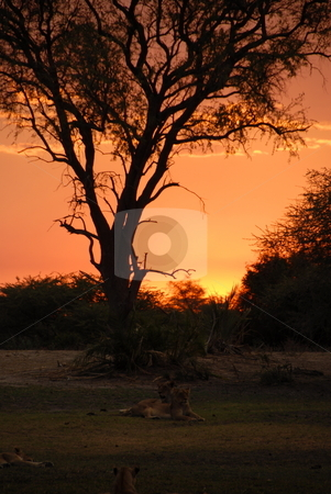 Tigers at sunset stock photo, Tigers resting at sunset in africa by Johnny Griffin