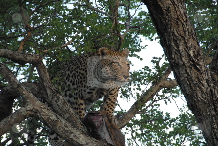 Leopard prowling in tree stock photo, Leopard lying in a tree with a dead carcass by Johnny Griffin