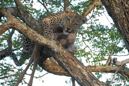 Leopard lurching in a tree stock photo, Leopard sits in a tree and waits for his next meal by Johnny Griffin