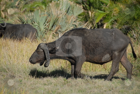 African Ox stock photo, An african ox on a safari by Johnny Griffin