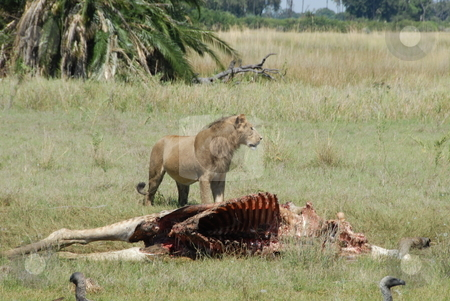Lion eating stock photo, Lion walking up to a dead carcass to finish his dinner. by Johnny Griffin