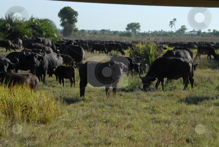 African ox stock photo, A pack of african ox eating by Johnny Griffin