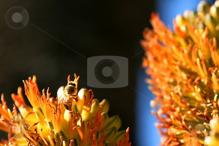 Bee with dark background stock photo, A bee in front of some beautiful orange flowers by Henrik Lehnerer