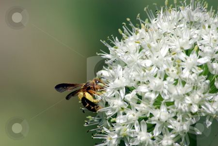 Wasp And Onion Flower stock photo, A close-up photo of a brown and yellow wasp on an onion flower head. by Lynn Bendickson