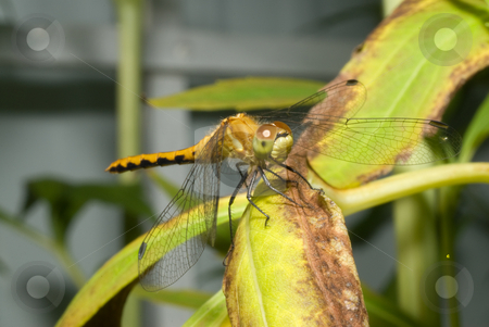 Resting Dragonfly stock photo, A dragonfly resting on a leaf outside by Richard Nelson