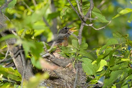 Bird Nest stock photo, A mother bird sitting in a nest by Richard Nelson