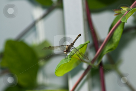 Dragonfly stock photo, An adult dragonfly sitting on a green leaf by Richard Nelson