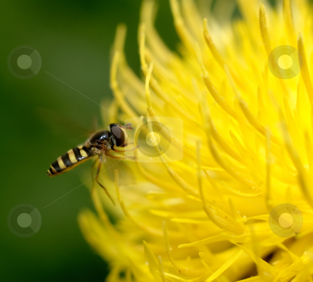 Bee stock photo, A bee collecting pollen from a yellow flower by Richard Nelson