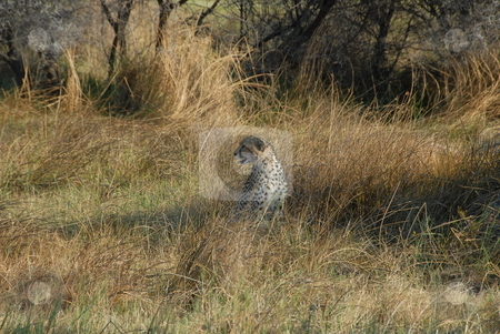 Leopard stock photo, Tiger lying in the tall grass by Johnny Griffin
