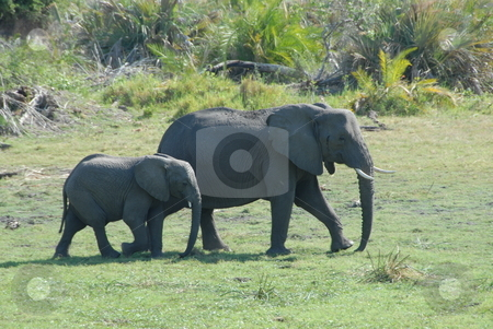 Family of Elephants stock photo, The elephant (family: Elephantidae) is a large land mammal in the order Proboscidea. by Johnny Griffin