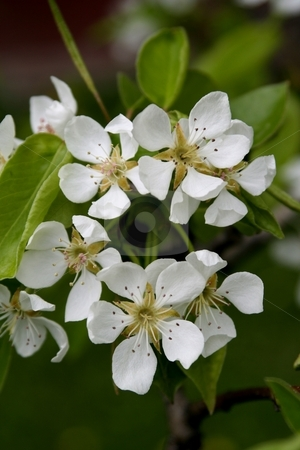 Pear Blossom blooming in spring stock photo, Pear blossoms blooming in spring with green leaves in background by Wes Shepherd